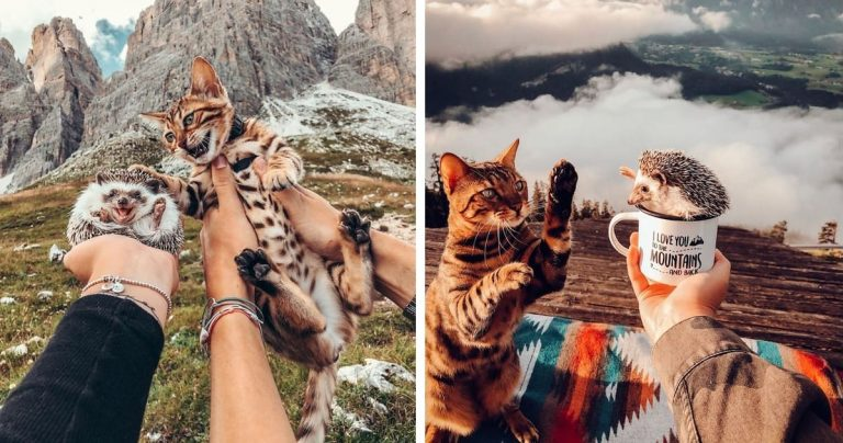 Adorable Hedgehog And Bengal Cat Love Going On Adventures Around The World