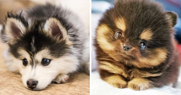 20+ Adorable Fluffy Cross Breeds That You Won't Believe Are Real