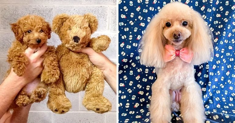 25 Super Cute Photos That Made Us Fall In Love With Poodles