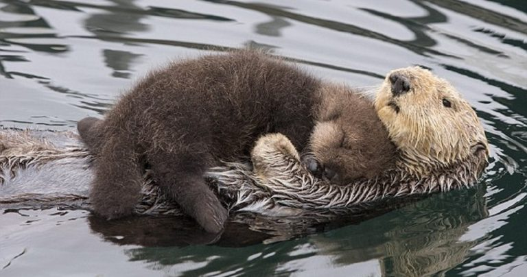 Mother Otter Carries Her Baby On Her Belly To Keep It Dry And Warm While Swimming